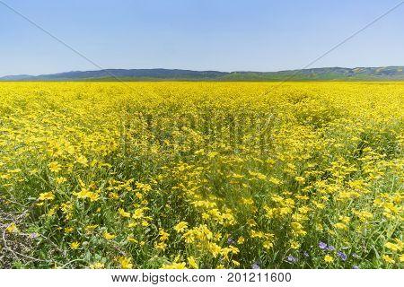 Beautiful Yellow Goldifelds Blossom