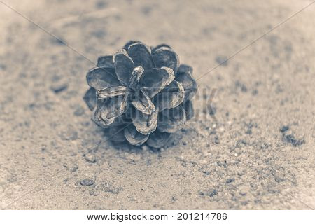 Old vintage photo. Cone of pine ate on the ground close-upcopy space