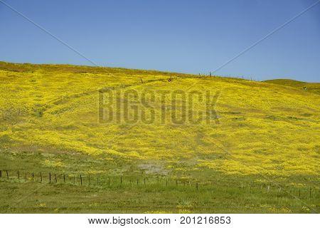 Beautiful Yellow Goldifelds And Fiddleneck Blossom