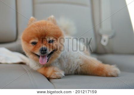 Pomeranian Dog Cute Pet Sitting In Vehicle Car Travel Road Trip