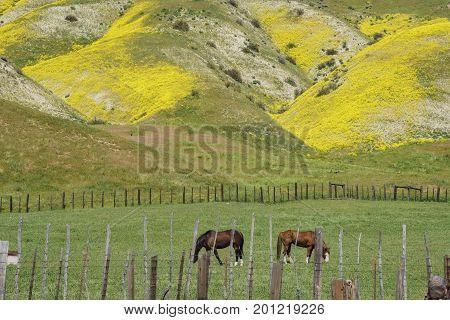 Horse Eating Grass With Beautiful Yellow Goldifelds Blossom