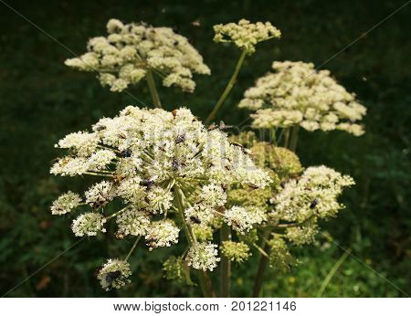 Angelica archangelica in the Tyrolean Alps in summer