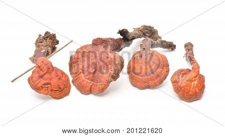 dried ganoderma lucidum medicinal mushrooms isolated on white