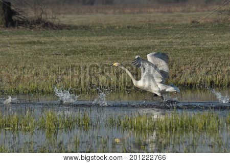 Whooper swam. Large white water bird. Taking off flying bird