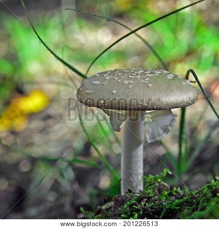 amanita excelsa var spissa in the forest