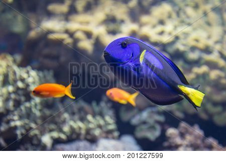 Beautiful Surgeonfish, Paracanthurus Hepatus Inside Aquarium