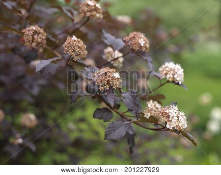 Beautiful shrub physocarpus with flowers shallow depth of field