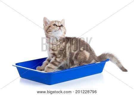 cat kitten in toilet tray box with litter isolated on white background