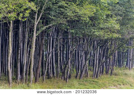 View of beech forest edge in summer time in Carpathian mountains, Romania. Line of tall trees at the edge of a forest plantation. Trees stand a wall at the edge of the forest.