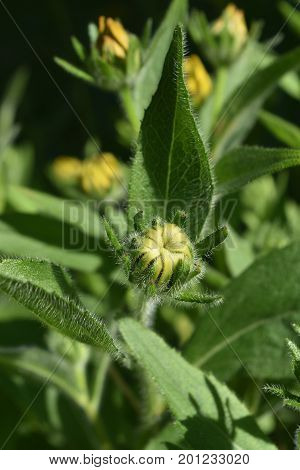 Lovely Close Up of a Budding Black Eyed Susan