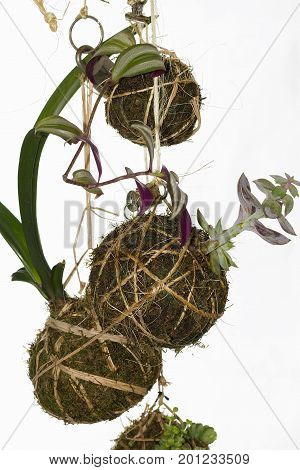 An image of Kokedama plants, a Japanese technique