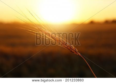 Spikelet in wheat field at sunset