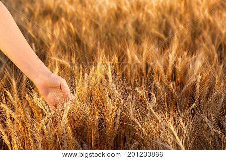 Woman touching wheat spikelets in field, closeup