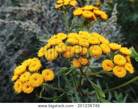 Tansy is a perennial herbaceous plant of the astrope family