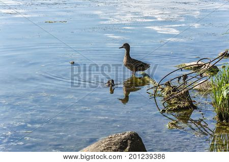 The pond is polluted with industrial waste and a duckling floats nearby and there is a duck