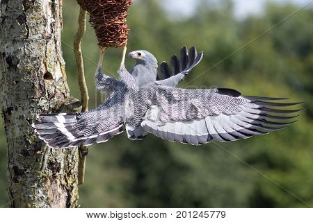 Amazing animal. Beautiful wildlife image of an African Harrier hawk (Polyboroides typus) bird of prey foraging for food at nest. Display of animal dexterity.