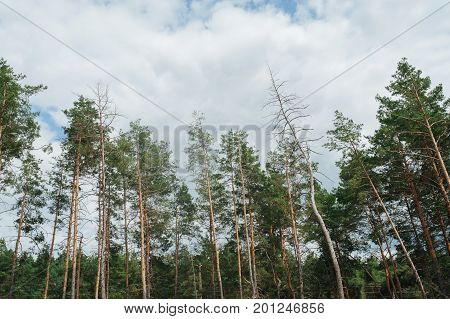 Pine Forest. Ecology Concept.