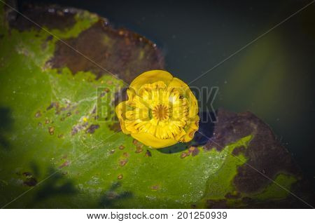 Yellow hued nuphar's flower in the summer sunshine on the water.