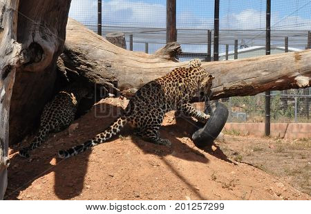 Two leopards, squabbling over an old tire.