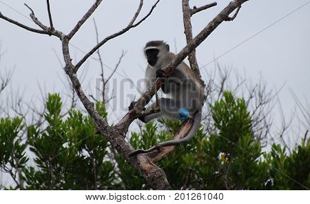 vervet monkey showing its bright blue scrotum