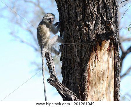 vervet monkey sitting in tree, looking at us