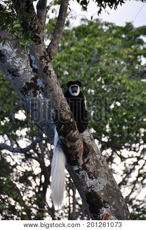 black-and-white colobus monkey in tree, looking towards us.