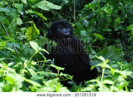 female mountain gorilla looking at us with curiosity.