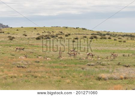 a herd of pronghorn antelope on the Arizona prairie during the rut