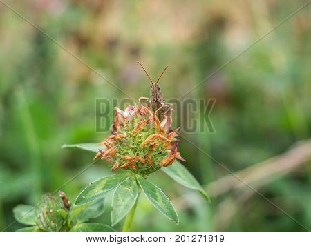Cricket sitting on a clover in the field