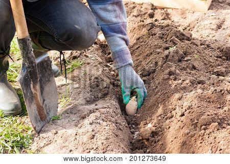 Spring Planting Of Potatoes. Male Work Or Hobby On Vegetable Garden In His Site. Male Farmer Planting Young Seedlings Plant Potato With Shoots In Ground Close Up.