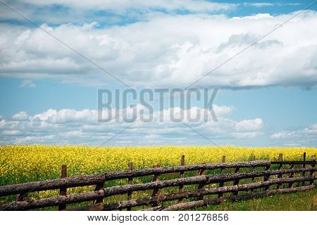 a lot of yellow flowers on meadow in summer about wooden fence