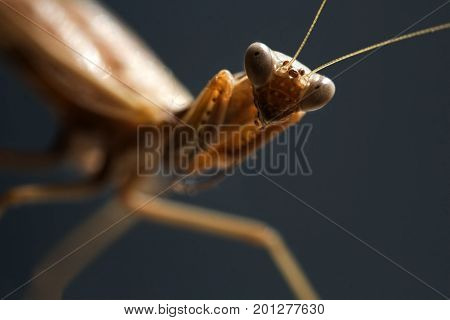 Sight of a mantis. Portrait of an insect on a blurred gray background. Selective focs macro image.