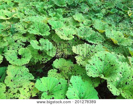 Huge plants background texture. Big green leaves with holes field