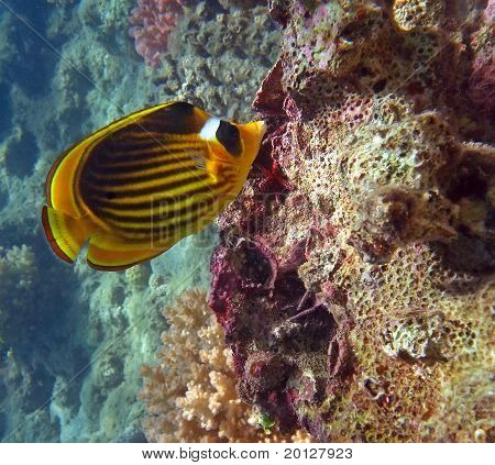 Diagonal Butterflyfish