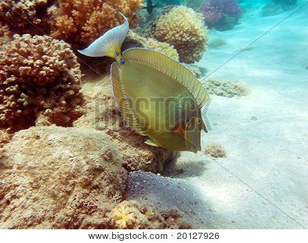 Bluespine Unicorn Fish