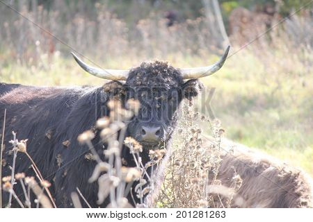 Long haired black cow with burrs matted in it's hair.