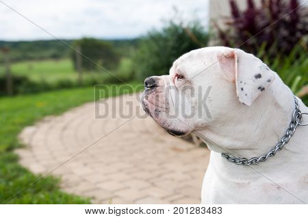 white American Bulldog in the yard of the house. The American bulldog is a stocky, well built, strong-looking dog, with a large head and a muscular build.