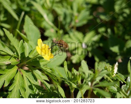 Large Bee-fly and Anemone ranunculoides flower Czech Repbublic