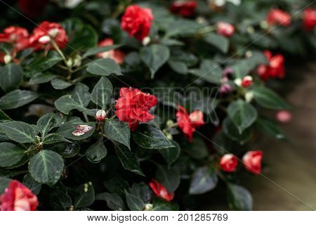 Closeup macro of red crimson flowers roses with green leaves foliage. Natural abstract textured background with copyspace.