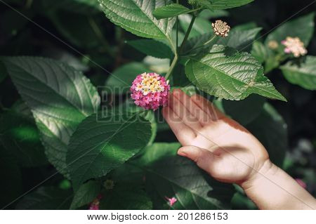 Closeup of child hand palm touching pink flower lantana camara with green leaves. Toned with retro vintage filters. Lifestyle childhood concept.