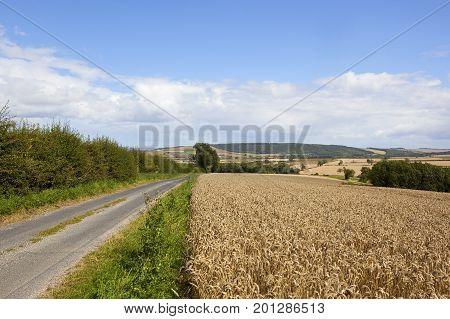 Scenic Summer Wheat Field