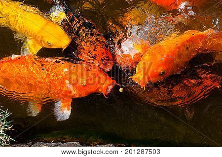 Carps Trying To Eat The Small Ball Of Ration On Water