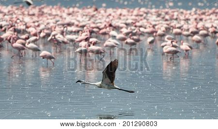 Lesser Flamingo flying against a background of flamingos