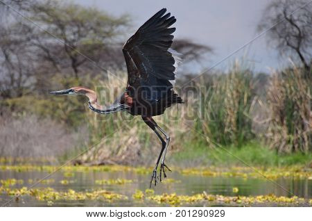 Goliath heron taking off, flapping large wings.