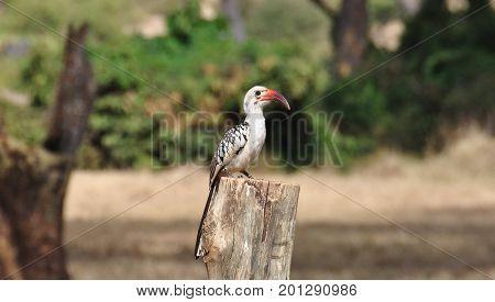 Eastern Yellow-billed Hornbill on a tree stump