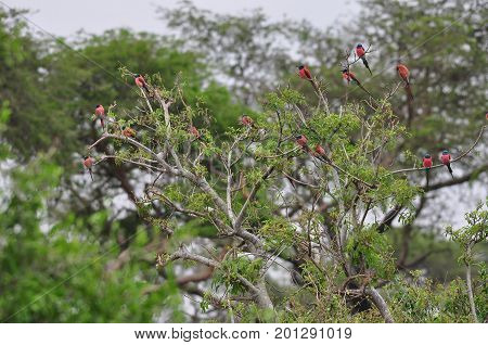 Northern Carmine Bee-eaters sitting in a tree