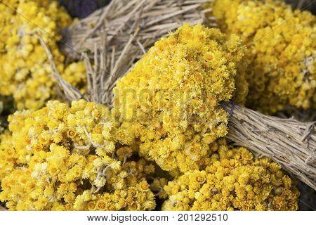 Helichrysum arenarium( dwarf everlast or immortelle) flowers