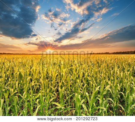 Field with corn at sunset. Summer landscape. The concept of a rich harvest, growth and development.