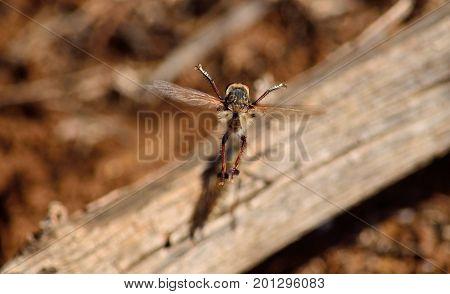 Robber fly, in full flight in mating season