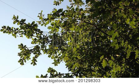 Oak leaves backlit by a clear blue sky
